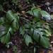 Monstera monteverdensis - Photo (c) Jeff Stauffer, όλα τα δικαιώματα διατηρούνται