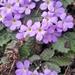 Primula bracteosa - Photo (c) dragondan, all rights reserved