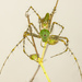 Green Lynx Spider - Photo (c) Cletus Lee, some rights reserved (CC BY-NC-ND)