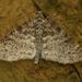 Lobophora halterata - Photo (c) Henk Wallays, todos los derechos reservados