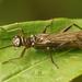Nemouroidea - Photo (c) Henk Wallays, todos los derechos reservados