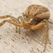 Arañas Cangrejo de Suelo - Photo (c) Henk Wallays, todos los derechos reservados