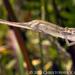Bradypodion melanocephalum - Photo (c) Chris Anderson, todos los derechos reservados
