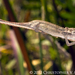 Black-headed Dwarf Chameleon - Photo (c) Chris Anderson, all rights reserved