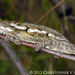 Namaqua Dwarf Chameleon - Photo (c) Chris Anderson, all rights reserved