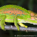 Cape Dwarf Chameleon - Photo (c) Chris Anderson, all rights reserved