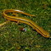 Blue Ridge Two-lined Salamander - Photo (c) Henk Wallays, all rights reserved