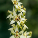 Sandbog Death Camas - Photo (c) Tom Potterfield, some rights reserved (CC BY-NC-SA)