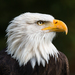 Bald Eagle - Photo (c) The Wasp Factory, some rights reserved (CC BY-NC-SA)