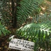 Blechnum chilense - Photo (c) Mark Wagner, all rights reserved