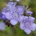 Phacelia hirsuta - Photo (c) Eric Hunt, todos los derechos reservados