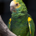 Yellow-shouldered Parrot - Photo (c) William Warby, some rights reserved (CC BY)