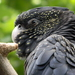 Forest Red-tailed Black-Cockatoo - Photo (c) Laslovarga, some rights reserved (CC BY-SA)