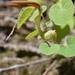 Aristolochia styoglossa - Photo (c) Rocío Ramírez, todos los derechos reservados