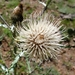 Colorado Thistle - Photo (c) plantite, all rights reserved