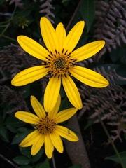 Image of Bidens rubifolia