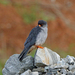Amur Falcon - Photo (c) Nigel Voaden, all rights reserved