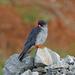 Cernícalo de Amur - Photo (c) Nigel Voaden, todos los derechos reservados