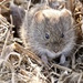 Meadow Voles - Photo (c) janeyd, all rights reserved