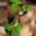 Nemophila aphylla - Photo (c) Eric Hunt, todos los derechos reservados