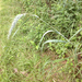 Elymus riparius - Photo (c) lward, todos los derechos reservados, uploaded by lward