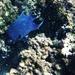 Giant Damselfish - Photo (c) Eugenio Villanueva Franck, all rights reserved, uploaded by Eugenio de J. Villanueva Franck