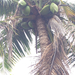 coconut palm - Photo (c) michaelvmg, all rights reserved