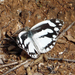 Pinacopteryx mabillei - Photo (c) Nigel Voaden, todos los derechos reservados