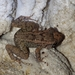 Eleutherodactylus cundalli - Photo (c) Damion Laren Whyte, todos los derechos reservados