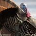 Eastern Wild Turkey - Photo (c) Gordon Dietzman, all rights reserved