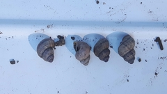 Pomatias elegans image