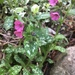 Lungwort - Photo (c) Aneta Sahely, all rights reserved