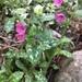 Pulmonaria officinalis - Photo (c) Aneta Sahely, todos los derechos reservados
