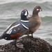 Harlequin Duck - Photo (c) Ashley Wahlberg (Tubbs), some rights reserved (CC BY-ND)