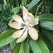 Magnoliales - Photo (c) Joshua Smith, kaikki oikeudet pidätetään