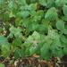 Cockspur Flower - Photo (c) John van den Hoeven, all rights reserved, uploaded by John Van den Hoeven