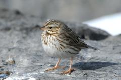 Savannah Sparrow - Photo (c) Tyler Christensen, all rights reserved
