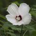 Hibiscos, Flor de Jamaica, Tulipanes Chinos Y Parientes - Photo (c) Bette J Kauffman, todos los derechos reservados