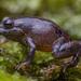Strabomantidae - Photo (c) Elson Meneses Pelayo, כל הזכויות שמורות
