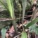 Pterostylis erecta - Photo (c) orchidmaine, todos los derechos reservados
