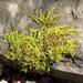 Homalothecium sericeum - Photo (c) mmmoriano, όλα τα δικαιώματα διατηρούνται