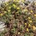 Pectis multiseta - Photo (c) Bill Levine, todos los derechos reservados