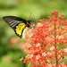 Southern Birdwing - Photo (c) Dr. Raju Kasambe, some rights reserved (CC BY-SA)