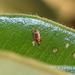 Neomycta rubida - Photo (c) Timothy Harker, todos los derechos reservados