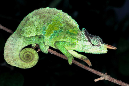 Cameroon Sailfin Chameleon (Trioceros montium ... Chameleon