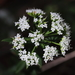 Shrubby Platysace - Photo (c) pennywort_man, all rights reserved
