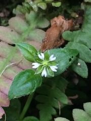 Image of Stellaria cuspidata