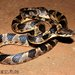 Banded Cat-eyed Snake - Photo (c) elson, all rights reserved, uploaded by Elson Meneses Pelayo