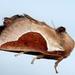 Prolimacodes badia - Photo (c) Steven Daniel, todos los derechos reservados