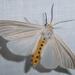 Cycnia oregonensis - Photo (c) Steven Daniel, todos los derechos reservados